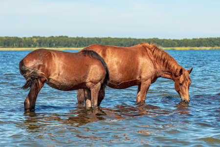 two horses stand knee-deep in water and drink water, the background is the other side of the lake on a summer day Stock fotó