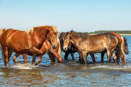 horses stand in a pond and drink with their feet on the water from which waves and splashes are formed. horses are resting on a hot day