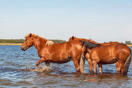 red horses stand in the water, one of them beats the foreleg in the water. horses on a hot summer day in a pond Stock fotó