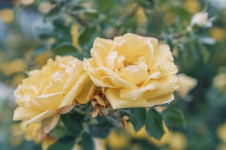 two yellow roses on a green background on a summer day after rain