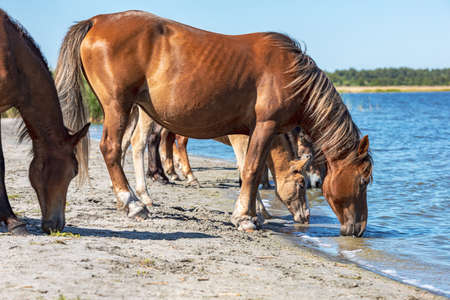 herd of horses bowing their heads to the water drinking, hot summer day