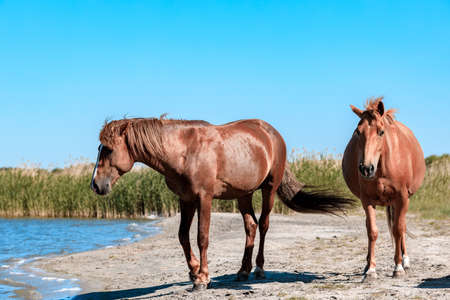 two brown horses walking along the lake on a summer sunny day. reeds and skyline background Stock fotó