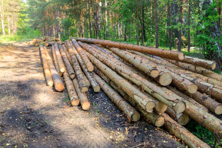 the sawn pine logs were taken out onto a forest road and thrown away. illegal logging, timber smuggling