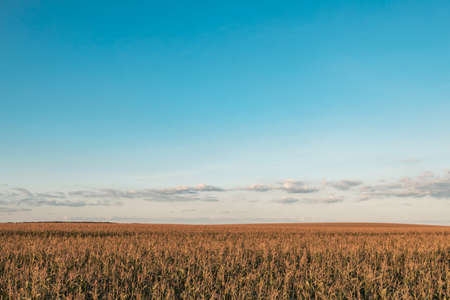 landscape of a farm field with growing corn over it blue sky. natural growing conditions for high-quality corn