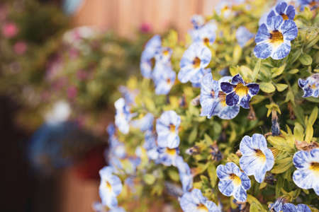 close-up of small blue flowers used in the decoration of the fence. many small flowers 免版税图像
