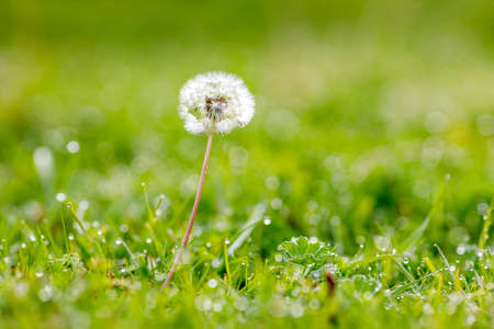 white dandelion on the background of a green glade, selective focus foreground 免版税图像