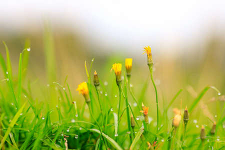 unblown yellow flowers against a background of green grass in drops after the rain. summer view of the meadow from a low point 免版税图像