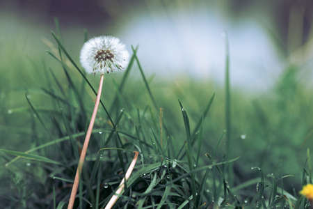 a dandelion with a white seed head is still in place. background out of focus grass and water drops 免版税图像