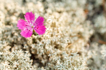 Selective photo of a flower against a background of light-colored moss, macro photo of a field flower of purple color 免版税图像