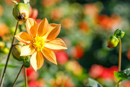 eight-pointed orange flower against the background of the rest of the vegetation on a summer day. beautiful harmony of colors close up 免版税图像
