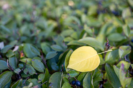 yellow birch leaf on green leaves of shrubs autumn day. harmony of colors of yellow and green 免版税图像