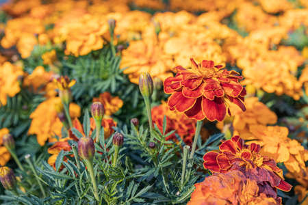 orange flowers growing in a city flower bed to decorate the sidewalk. many marigolds blurred background selective focus