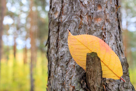 a yellow leaf on the trunk of a pine tree caught on a branch. autumn in the forest beauty of nature