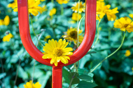 yellow flowers in an arc of a red metal fence on a blurred background of a flower bed. harmony of broom and delicate flower