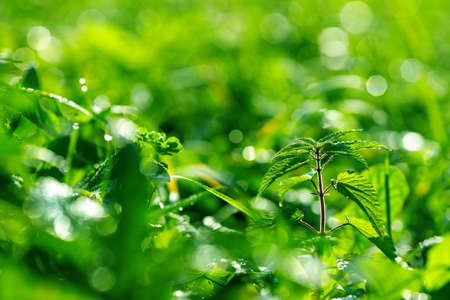 bright green color of grass on a field selective focus of a morning glade with nettles. morning on the field