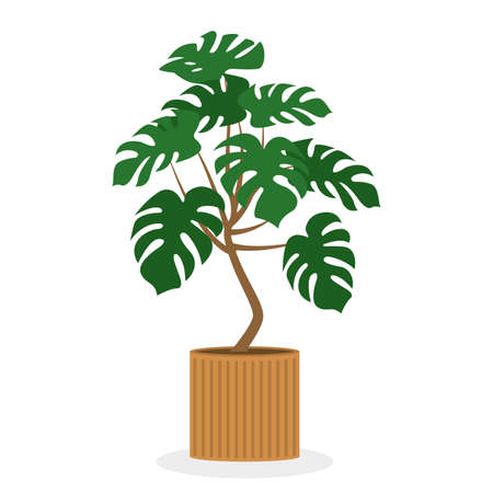 Monstera in a pot. Tropical home plant isolated on white background. Indoor exotic palm. Vector illustration.