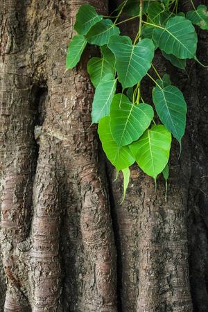 peepal tree: Bodhi tree leaves and trunk