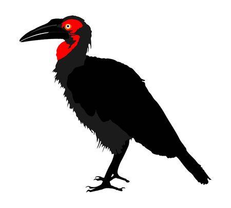 Southern Ground hornbill (Bucorvus leadbeateri) vector illustration isolated on white background. Big bird.