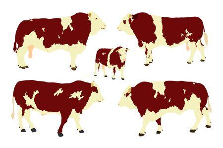 Standing adult bull vector illustration isolated on white background. Simmentaler Fleckvieh. Simmental cow. Breeding bull.  quality genetic material for insemination. Several bull collection.