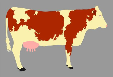 Simmental Cow vector illustration isolated on gray background. Cow grazing. Milk and cheese fabric. Farm animal.  イラスト・ベクター素材