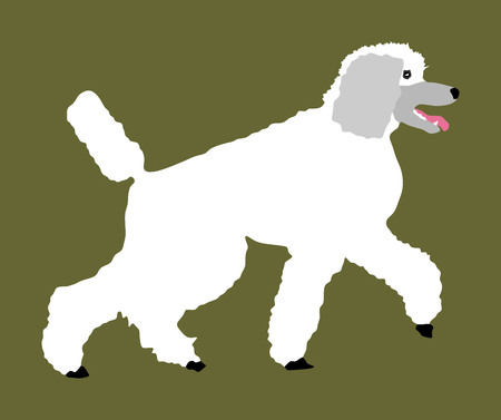 Portrait of Royal Poodle vector illustration isolated. French white poodle walking. Illustration