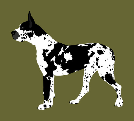 Portrait of Great Dane vector illustration isolated. Harlequin dog. German dog.
