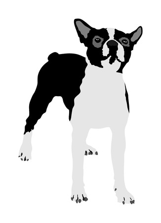 Portrait of Boston Terrier vector illustration isolated. Little dog. Illustration