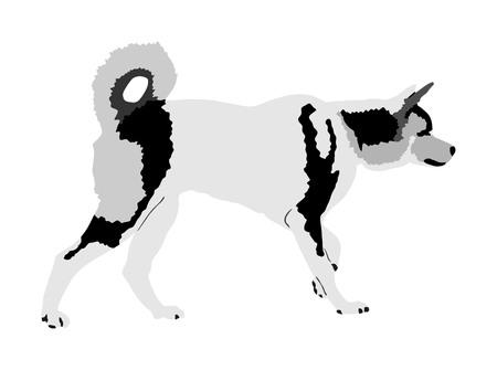 Siberian Husky dog vector illustration. Akita Inu breed. Working dog. Beware of purebred dog. Dog show champion. Best friend. Alert, guard attention. Stock Vector - 123765013