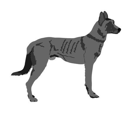 Portrait of Dutch shepherd vector illustration isolated. Holland shepherd. Belgian Shepherd. Wild Australian dog Dingo. Beware of purebred dog. Dog show champion. Best friend. Alert, guard attention. Illustration