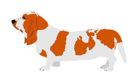 Portrait of Basset hound dog vector illustration isolated.