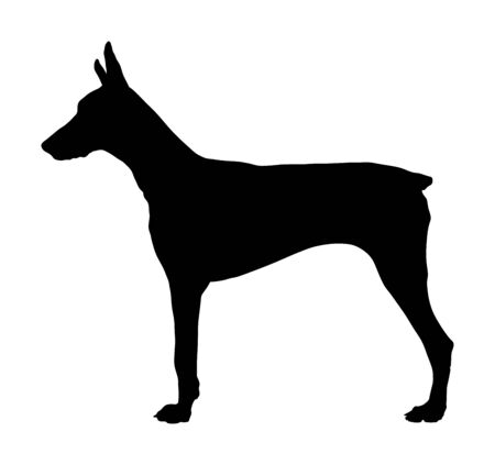 Portrait of Doberman Pincher dog vector silhouette isolated. German military guardian dog for detecting smuggling drugs. Beware of dog.  Dog show champion. Best friend. Alert, guard attention.