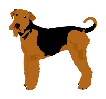 Portrait of Airedale Terrier vector illustration isolated. Big terrier dog. Beware of purebred dog. Dog show champion. Best friend. Alert, guard attention.