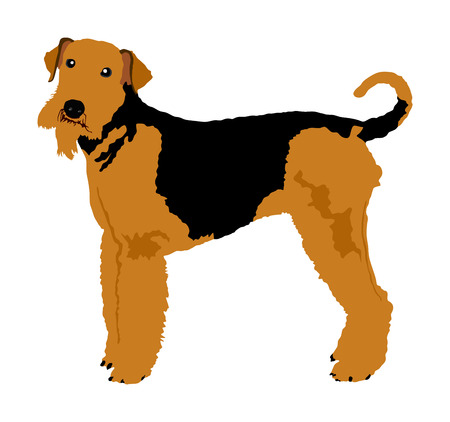 Portrait of Airedale Terrier vector illustration isolated. Big terrier dog.