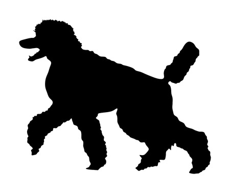 Portrait of Royal Poodle vector silhouette illustration isolated. French black poodle walking. Beware of dog. Dog show exhibition. Black dog silhouette.