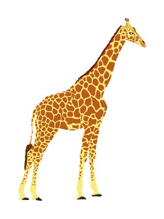 Giraffe vector illustration isolated on white background. African animal. Tallest animal. Safari trip attraction. Big five. Giraffe in standing pose. Portrait of giraffe.