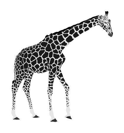 Ilustración de vector de jirafa aislado sobre fondo blanco. Animal africano. Animal más alto. Atracción de viaje de safari. Gran Cinco. Jirafa en pose de pie. Retrato de jirafa. Ilustración de vector