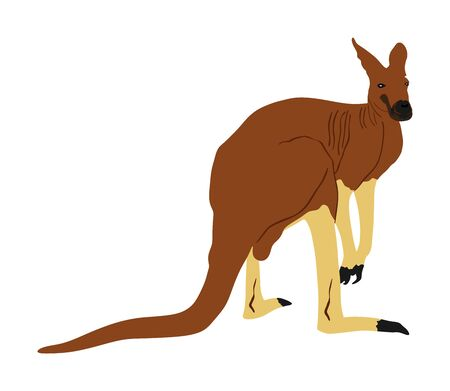 Kangaroo vector illustration isolated on white background. Australian animal portrait. Tourist symbol souvenir. Fauna best jumper. Zoo attraction. Illustration