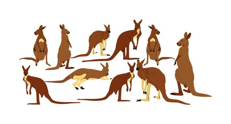Kangaroo family vector illustration isolated on white background. Australian animal portrait. Tourist symbol souvenir. Fauna best jumper. Zoo attraction.
