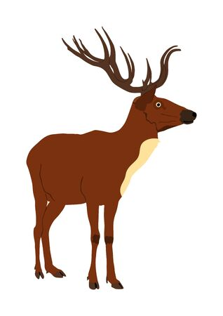 Deer vector illustration isolated on white background. Reindeer, proud Noble Deer male in forest or zoo. Powerful buck with huge neck and antlers standing. Red deer grazing grass.