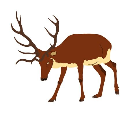 Deer vector illustration isolated on white background. Reindeer, proud Noble Deer male in forest or zoo. Powerful buck with huge neck and antlers standing. Red deer Иллюстрация