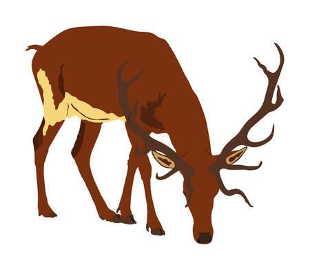 Deer vector illustration isolated on white background. Reindeer, proud Noble Deer male in forest or zoo. Powerful buck with huge neck and antlers standing. Red deer grazing grass. Stock Vector - 121527843