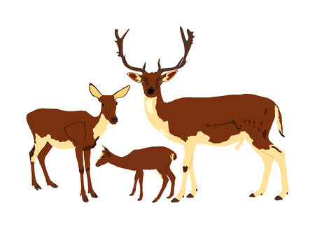 Deer  family vector illustration isolated on white background. Reindeer couple with fawn. Proud Noble Deer male in forest or zoo. Powerful buck with huge neck and antlers standing on alert looking.