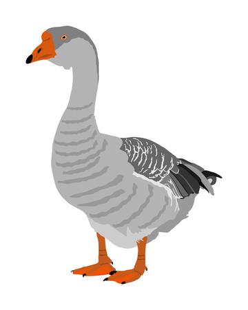 Grey Chinese Goose vector illustration isolated on white background. Goose couple isolated on white background. Water bird. Domestic animal.