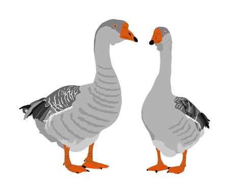 Grey Chinese Goose vector illustration isolated on white background. Goose couple in love isolated on white background. Water bird. Domestic animal.