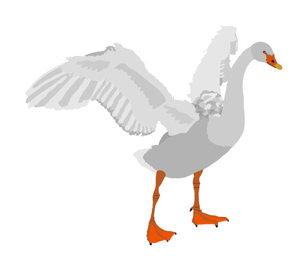 Swan spread wings vector illustration isolated on white background. Goose wide spread wings. Big bird nature pose. Ilustracja