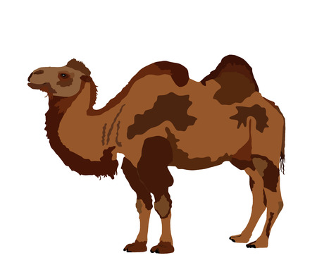 Standing Bactrian camel vector isolated on white. Camel  vector illustration. (Camelus bactrianus)