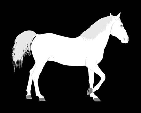 Elegant white horse isolated on black background. Horse race. Farm animal. Symbol of beautiful animal. Casual ambler horse stallion.