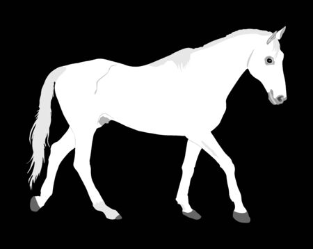 Elegant white horse isolated on black background. Horse race. Farm animal. Symbol of beautiful animal. Casual ambler horse stallion.