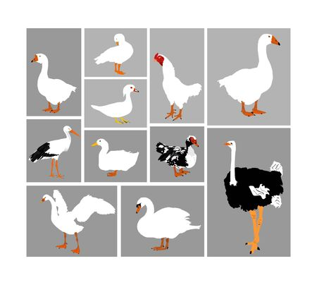 Birds collection vector illustration isolated. Big set of farm poultry and domestic animals. Fowl group. Stork, duck, goose, ostrich, chicken, swan.