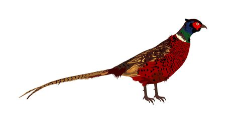 Pheasant vector illustration isolated on white background. Ring necked pheasant male. Phasianus colchicus. Beautiful wild bird portrait. Stock Illustratie